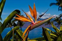 Uccello dei fiori di paradiso Fotografia Stock