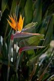 Uccello dei fiori di paradiso contro fogliame verde alto fotografia stock libera da diritti
