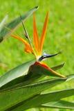 Uccello dei fogli del fiore e di verde di paradiso Immagine Stock