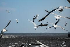 Uccello dei gabbiani al mare Bangpu Samutprakarn Tailandia Immagini Stock