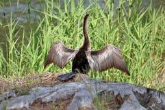Uccello del Anhinga Immagine Stock Libera da Diritti