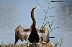 Uccello del Anhinga Fotografie Stock