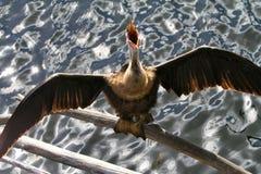 Uccello del Anhinga Fotografie Stock Libere da Diritti