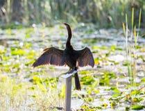 Uccello del Anhinga che asciuga le sue piume in terreni paludosi Fotografie Stock Libere da Diritti