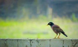 Uccello del Bangladesh anche conosciuto come l'indiano Myna Immagini Stock Libere da Diritti