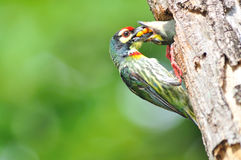 Uccello del barbet del Coppersmith Immagini Stock Libere da Diritti