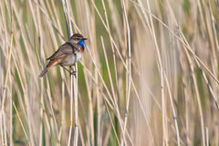 Uccello del Bluethroat nella canna Fotografia Stock