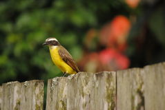 Uccello del Brasile Fotografia Stock
