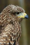 Uccello del Brown della preda Fotografie Stock