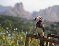 Uccello del bucero con la bacca rossa in suo becco Immagini Stock