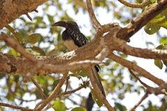 Uccello del bucero sull'albero Fotografie Stock