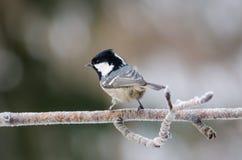 Uccello del capezzolo del carbone che si siede nell'albero un il giorno di inverno freddo fotografia stock libera da diritti