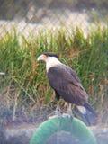 uccello del caracara in uno zoo fotografia stock libera da diritti