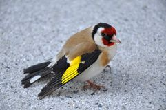 Uccello del cardellino (carduelis del carduelis) fotografia stock