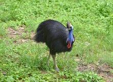 Uccello del casuarius Fotografie Stock