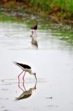 Uccello del cavaliere d'Italia (himantopus del Himantopus) Immagine Stock Libera da Diritti