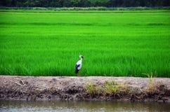 Uccello del ciconiiformes sul campo del riso e della risaia Immagini Stock