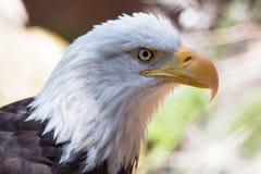 Uccello del cittadino degli Stati Uniti Eagle calvo all'aperto Immagine Stock