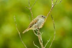 Uccello del ciuffolotto delle Barbados su un ramo con un fondo verde Fotografia Stock
