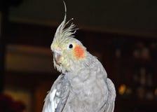 Uccello del Cockatiel Fotografie Stock Libere da Diritti