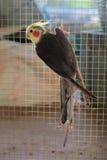 Uccello del Cockatiel Fotografia Stock Libera da Diritti