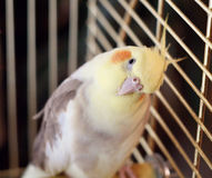 Uccello del Cockatiel in una gabbia Fotografia Stock Libera da Diritti