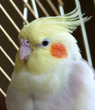 Uccello del Cockatiel in una gabbia Fotografie Stock Libere da Diritti