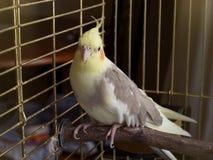 Uccello del Cockatiel in una gabbia Fotografie Stock