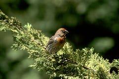 Uccello del cortile Fotografie Stock