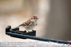 Uccello del cortile fotografia stock libera da diritti