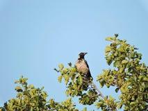 Uccello del corvo Immagine Stock