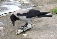 Uccello del corvo Fotografia Stock Libera da Diritti