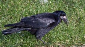 Uccello del corvo/frugilegus di corvo su erba fotografie stock
