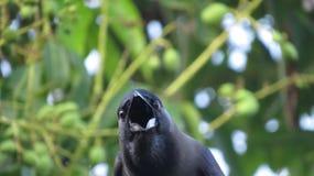 Uccello del corvo nello Sri Lanka fotografie stock