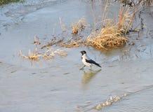 Uccello del corvo su ghiaccio nell'inverno, Lituania Fotografia Stock