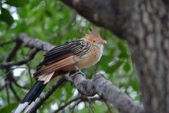 Uccello del cuculo di Guira sul ramo Immagine Stock