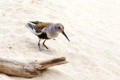 Uccello del Dunlin sulla spiaggia sabbiosa fotografia stock libera da diritti