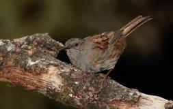 Uccello del Dunnock Fotografia Stock Libera da Diritti