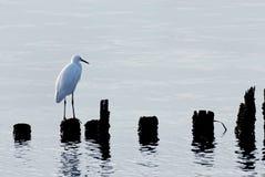 Uccello del Egret Immagini Stock Libere da Diritti
