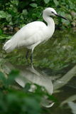 Uccello del Egret Fotografie Stock