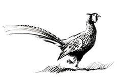 Uccello del fagiano Fotografie Stock