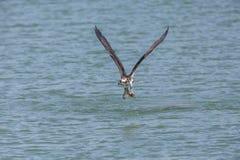 Uccello del falco pescatore di volo fotografia stock