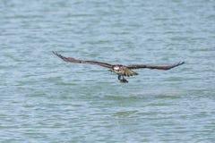 Uccello del falco pescatore di volo fotografie stock libere da diritti