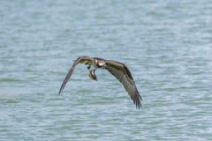Uccello del falco pescatore di volo immagini stock libere da diritti