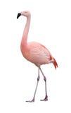 Uccello del fenicottero che cammina a sinistra sul bianco fotografie stock libere da diritti