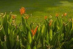 Uccello del fiore del fiore di paradiso o dell'arancia di strelizia Immagine Stock