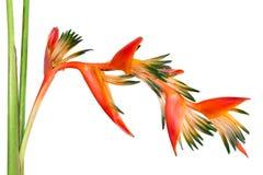 Uccello del fiore del paradiso tropicale arancio luminoso, isolato Fotografia Stock