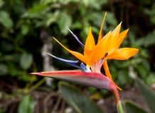 Uccello del fiore di paradiso Immagine Stock Libera da Diritti