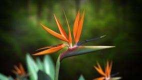 Uccello del fiore di paradiso Immagini Stock Libere da Diritti