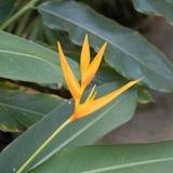 Uccello del fiore di paradiso Immagini Stock